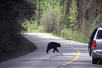 Bären haben Vorfahrt in Kanada