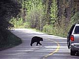 ein Bär spaziert im Banff Nationalpark in Alberta, Kanada über die Straße