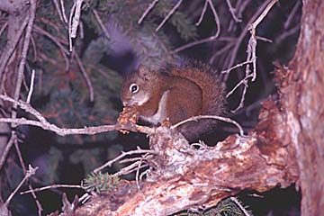 mein Freund das Eichhörchen im Banff Nationalparks, Westkanada