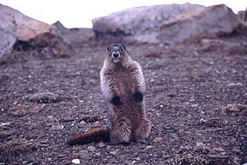 ein Erdhörnchen wartet darauf fotografiert zu werden, Jasper  Nationalpark, Kanada