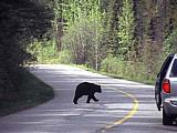 Kanadische Bären auf einer Straße in Westkanada