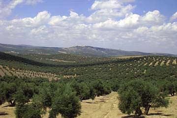 Olivenhaine in der Region Jaén in Andalusien