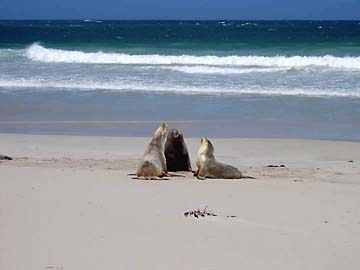 Australische Seelöwen auf Kangaroo Island