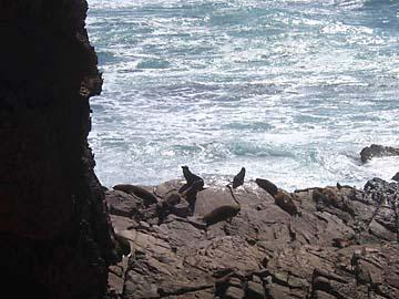 Die New Zealand Seals (Robben) kann man von einem Bordwalk bewundern