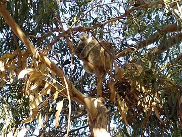 Ein Koala im Eukalyptusbaum auf dem Koala Walk auf Kangaroo Island