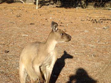 Ein Känguru im Naturparadies Kangaroo Island
