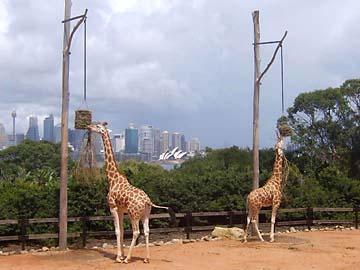 Giraffen im Taronga Zoo von Sydney