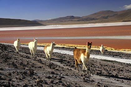 Alpakas stolzieren vorbei an der Laguna Colorada