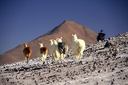Fotokulisse mit Alpakas im bolivianischen Altiplano