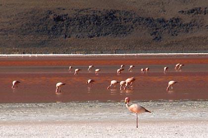 Flamingos in der roten Laguna Colorada in Bolivien