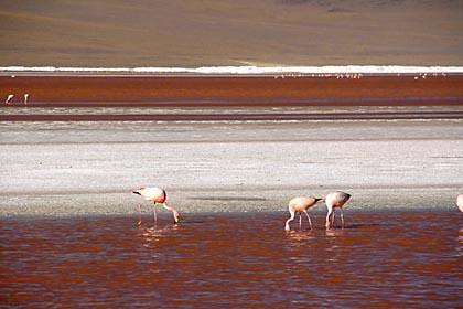Flamingos im bolivianischen Hochland