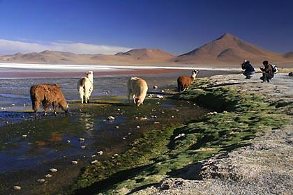 Alpakas an der Laguna Colorada in Bolivien