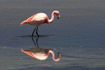 Ein Flamingo in der Laguna Honda in Bolivien