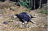 Faule Haustiere auf Borneo in Malaysia