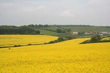 gelbe Rapsfelder im Mai