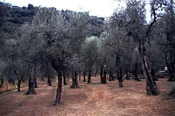 ein Olivenhain im Gebiet des Gardasees in Norditalien...