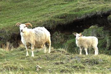Schafe sind überall in Island anzutreffen