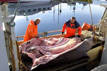 ein guter Fang im Hafen von Husavik, Nordisland