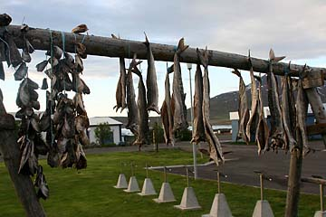 zum Trocknen aufgehängter Fisch bei Dalvik, Island, Norden
