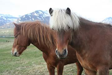 freundliche Islandpferde in Dalvik, Nordisland