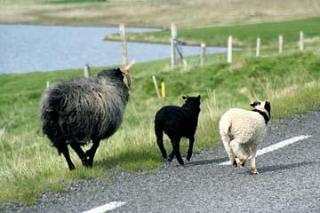 flüchtende Schafe, Nordisland