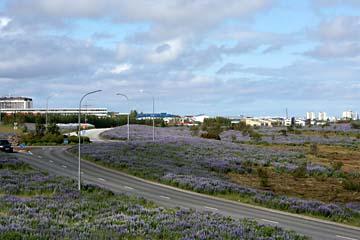 blaue Lupinen bei der Anfahrt auf Reykjavik, Westisland