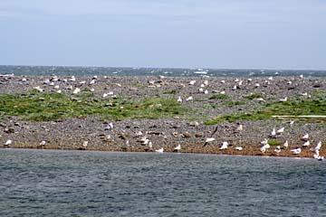 Seevögel bei Olafsvik, Halbinsel Snaefellsnes, Westisland