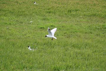 im Gras brütende Küstenseeschwalben bei Hellisandur in Westisland