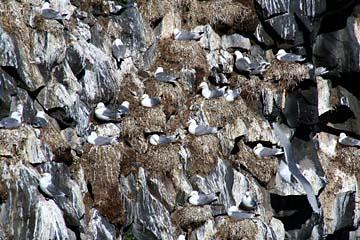 Vogelfelsen auf der Halbinsel Snaefellsnes, Westisland