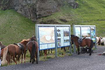 Pferde warten auf ihre Reiter, Südisland