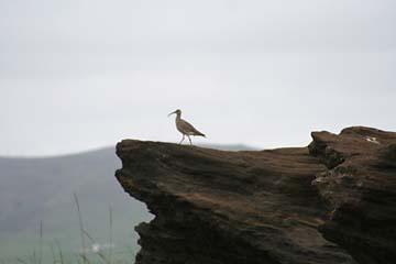 Brachvogel beim Kap Dyrholaey