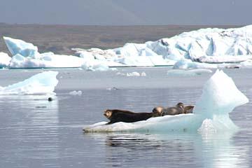 Seehunde auf einer Eisscholle in der Gletscherlagune Jökulsarlon, Ostisland