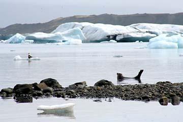 schwimmende Seehunde in der Gletscherlagune Jökulsarlon, Ostisland