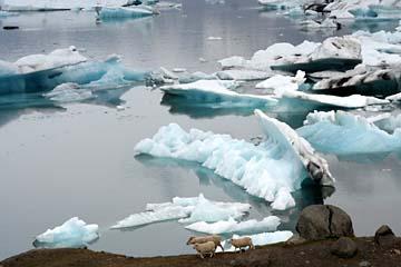 Schafe am Ufer der Gletscherlagune Jökulsarlon, Ostisland
