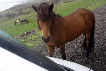neugierige Islandpferde, Ostisland