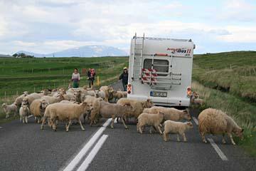 Schafe sind allgegenwärtig in Island