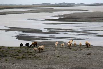 Schafe auf einer landzunge bei Höfn, Ostisland