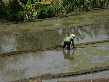 eine Frau arbeite auf dem Reisfeld nähe Malang, Java