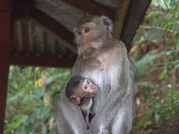 eine halbzahme Affenmutter mit ihrem Baby beim Wasserfall nähe Solo, Java