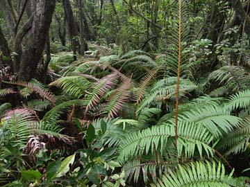 eine Vielzahl von Urwaldpflanzen wie Farne und Palmen finden sich am Tangkuban Prahu, Java