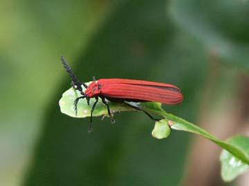 ein Käfer im Urwald von Bandung, Westjava, Indonesien