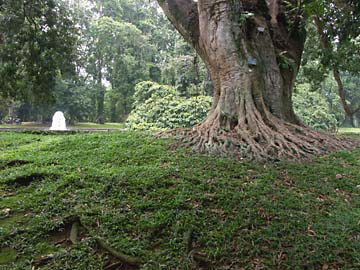 ein alter Lychee-Baum im botanischen Garten in Bogor, Indonesien