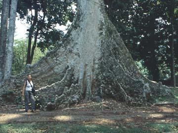 Baumriesen im botanischen Garten in Bogor, Westjava, Indonesien