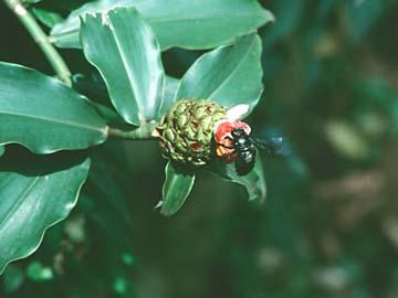 eine Blume mit schwarzem Insekt in Bogor, Indonesien