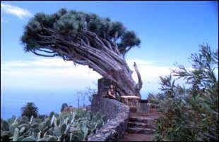 ein Drachenbaum auf La Palma, kanarische Inseln