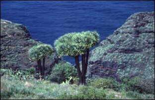 Drachenbäume, La Palma, Kanaren