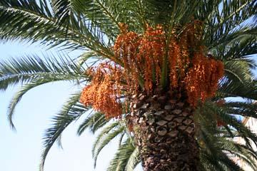 Palme in Zadar, Kroatien