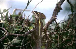 ein Gekko in Belize