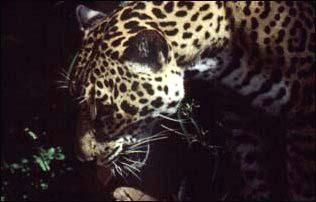 Raubkatze im Belize Zoo