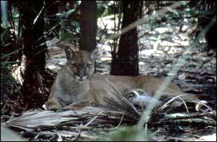 ein Puma im Belize Zoo, Belize